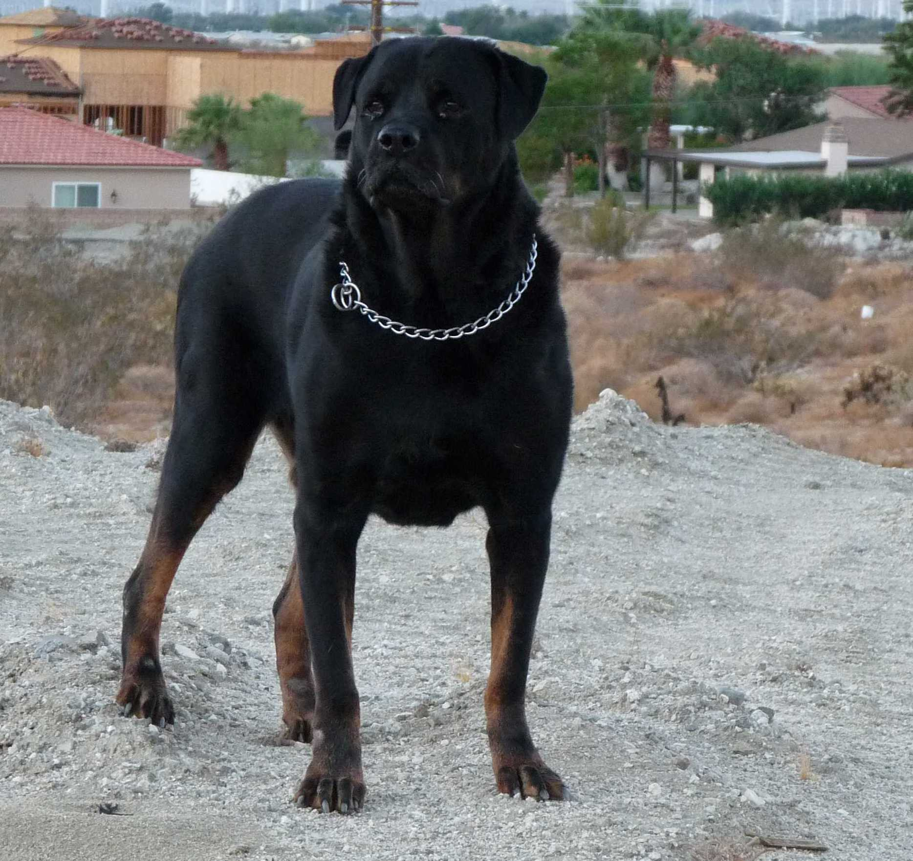 Biggest Rottweiler On Record