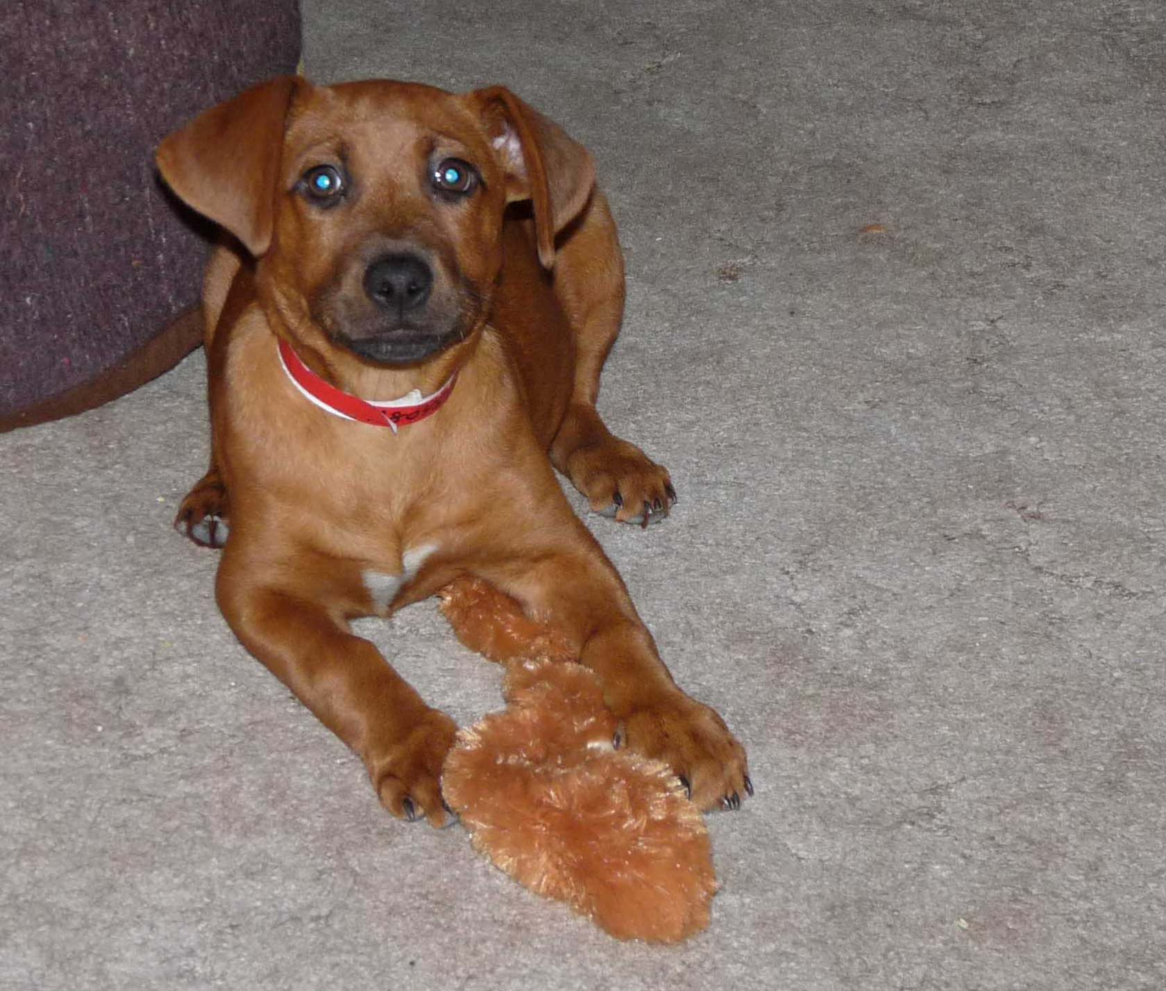Displaying 17> Images For - Yellow Lab Dachshund Mix Puppy...