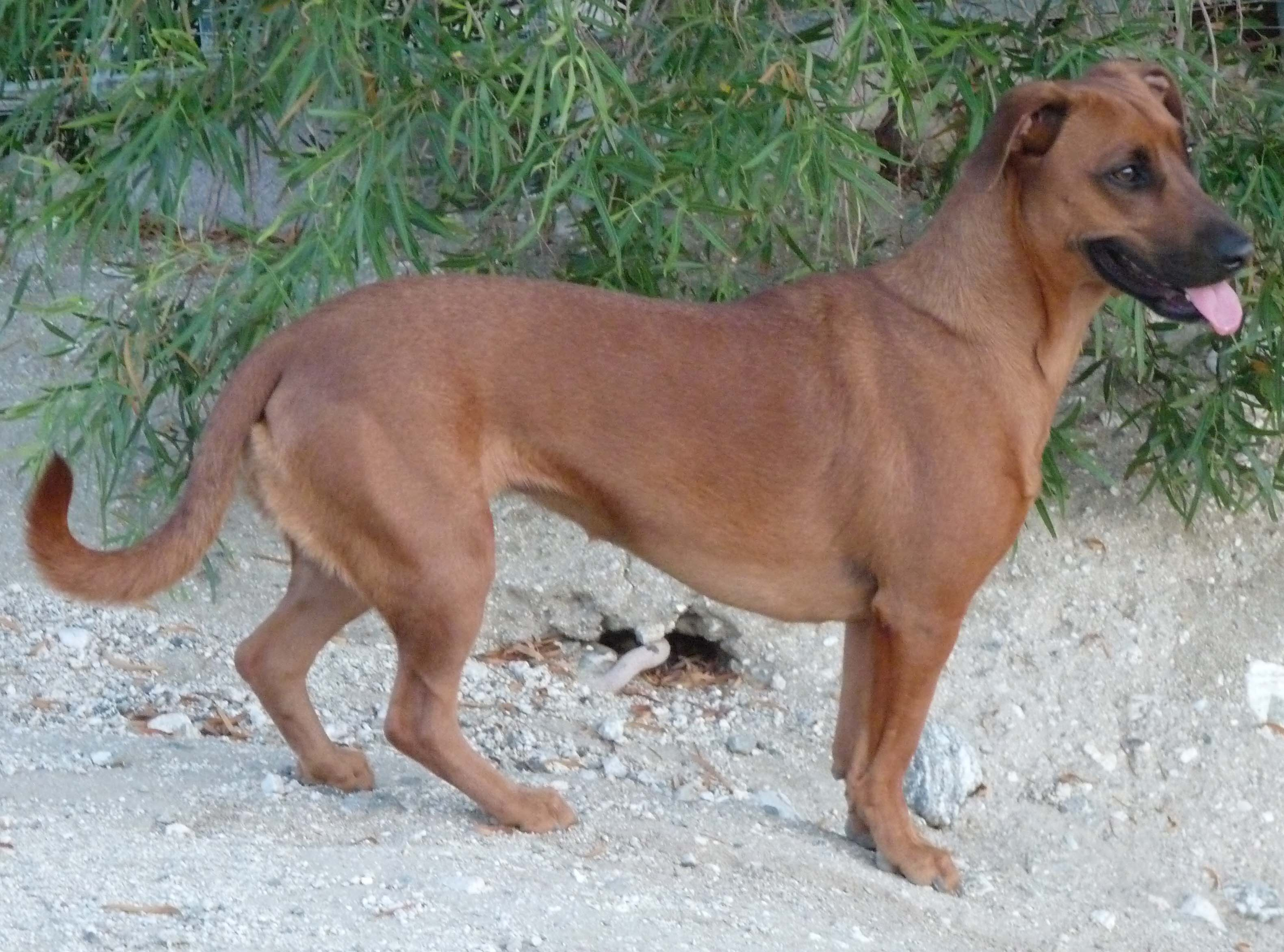 The gallery for --> German Shepherd Mixed With Wiener Dog